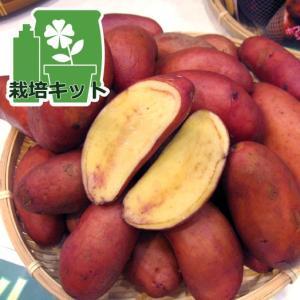 野菜の苗/ジャガイモ:タワラヨーデル500gと切り口につける草木灰のセット