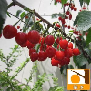 果樹の苗/サクランボ:だんちおうとう(暖地桜桃)接木苗4〜5...