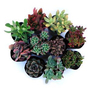 愛らしい多肉植物を品種アソートでお届けします。小さな鉢への寄せ植えやテラリウム、リース作りなど、お好...