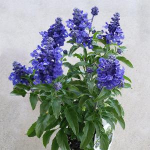 草花の苗/サルビア:ファリナセア サリーファン ディープオーシャン3.5号ポットの画像