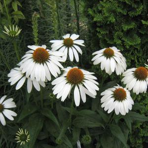 ★お届けまでに1週間前後お日にちをいただく場合があります★夏から秋にかけて花壇を飾る、暑さに強い花、...