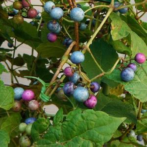 果樹の苗/ノブドウ:瑠璃姫(るりひめ)3号ポット