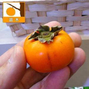 果樹の苗/カキ(柿):ベビーパーシモン5号ポット