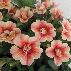 草花の苗/カリブラコア:アンティークNo.38 3.5号ポット|engei
