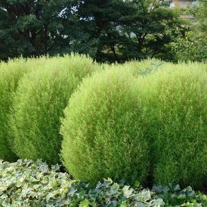 草花の苗/コキア(ホウキグサ)5号鉢植え*