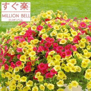 草花の苗/カリブラコア:すぐ楽ミリオンベルチェリー&バナナ3.5号ポット (R)|engei