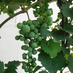 果樹の苗/ワイン用ぶどう:カベルネ ソーヴィニヨン4号ポット