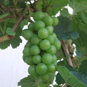 果樹の苗/ワイン用ぶどう:シャルドネ4号ポット