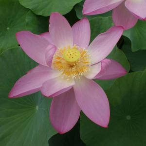 草花の苗/花はす:大賀ハス4.5号ポット