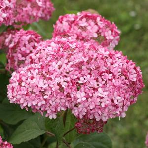 ピンクの花で人気の高い北米原産のアジサイ、ピンクアナベルの第2世代改良品種です。これまでの品種より葉...