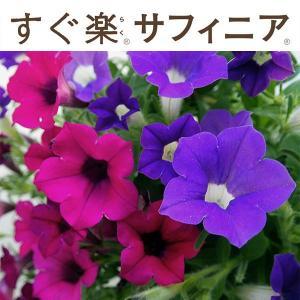 草花の苗/すぐ楽サフィニア:ぷらむ&ぶどう3.5号ポット (R)|engei