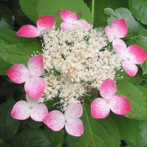 クレナイはボリュームのある花木になるガク山アジサイの変種で、6月頃に白い花を咲かせ始め、次第に美しい...