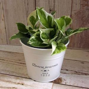 観葉植物/ギフトに ナチュラルブリキポット:ポトス:エンジョイ3号ポット(ラッピング付き)|engei