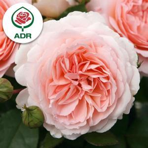 バラの苗/四季咲中輪バラ:メルヘンツァウバー新苗|engei