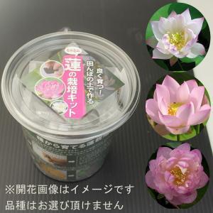 ミニミニ蓮の栽培キット|engei