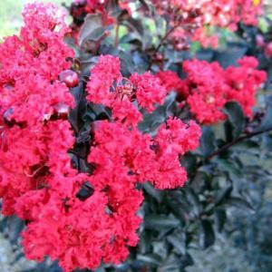 花木 庭木の苗/サルスベリ(百日紅):ブラックパール ルビー5号ポット