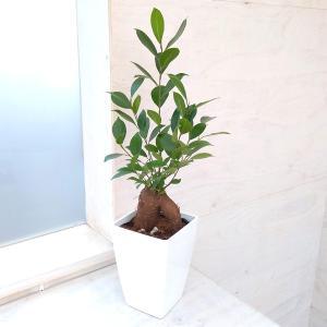 観葉植物/(わけあり特価)ガジュマル(多幸の木)4号角鉢植え ギフトにおすすめ|engei