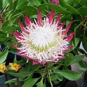プロテア属はオーストラリアや南アフリカなどに分布する常緑低木です。多数の花が集まって頭状花序をなし、...