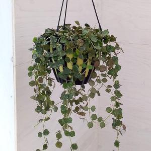 観葉植物/ホヤ:カーティシー5号吊鉢
