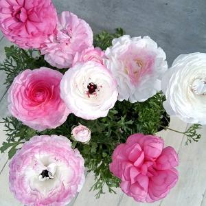 草花の苗/ラナンキュラス:マシェバイカラー花色ミックス3.5号 3株セット