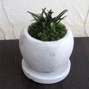 観葉植物/ギフトに 万年青 (おもと):群雀(ムラスズメ)マルモボウル白(直径10cm)受け皿付き|engei