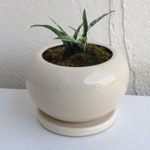 観葉植物/ギフトに 万年青 (おもと):姫牡丹陶器鉢植え(直径12cm)受け皿付き|engei