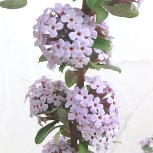 ブッドレアは初夏に、たおやかな花穂を風にそよがせるスマートな花木です。ライラック色の房状の花を枝の先...