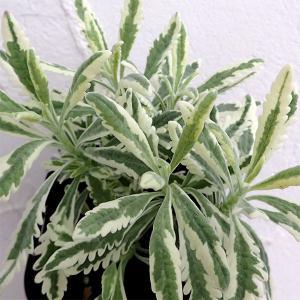 葉に深く切れ込みが入るラベンダーです。強健なガーデン用品種・アラルディー種の斑入りタイプです。ふんわ...