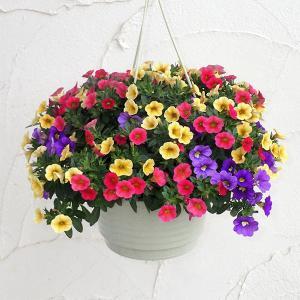 愛らしい星模様のカリブラコア・セレブレーションの花色ミックス鉢植えです。ペチュニアを小型にしたような...