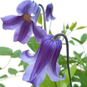 クレマチスの苗/クレマチス:ロウグチ(篭口)5号鉢植え|engei