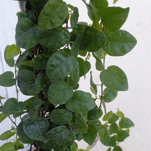 長尺つるもの:オオイタビ(フィカス プミラ):緑葉5号 長さ約1m engei