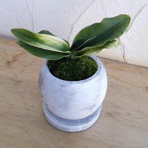 観葉植物/万年青 (おもと):福の光 鉢植え(皿付)/マルモボウル白 縁起物・新居祝いやギフトに!|engei