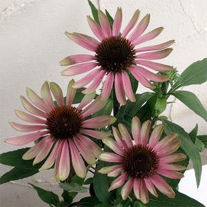 夏花壇の花として人気のエキナセアです。グリーンツイスターはエキナセアの中でも人気のグリーン系の花色で...