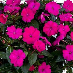草花の苗/サマーインパ:パープル(紫)6号鉢植え|engei
