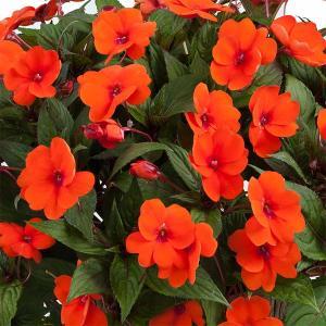 草花の苗/サマーインパ:ディープオレンジ(橙)6号鉢植え|engei