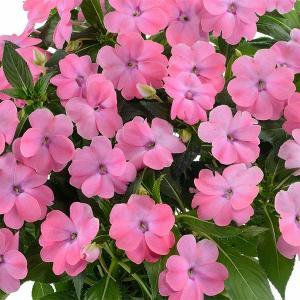 草花の苗/サマーインパ:ブライトピンク(薄桃)6号鉢植え|engei