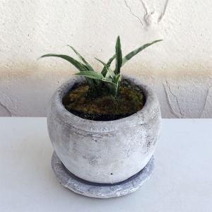 観葉植物/ギフトに 万年青 (おもと):姫牡丹 鉢植え/ロゼッタボウル白SS・皿付き