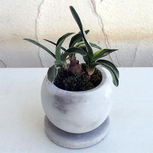 観葉植物/ギフトに 万年青 (おもと):剣舞 鉢植え/マルモボウル白・皿付き|engei