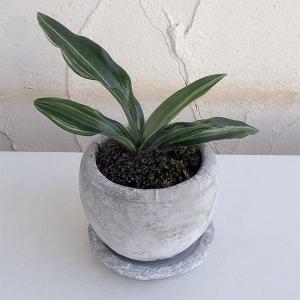 観葉植物/ギフトに 万年青 (おもと):出世実生 鉢植え/ロゼッタボウル白SS・皿付き