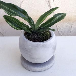 観葉植物/ギフトに 万年青 (おもと):出世実生 鉢植え/マルモボウル白・皿付き|engei