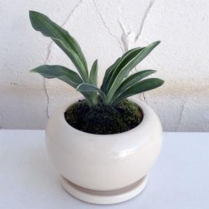 観葉植物/ギフトに 万年青 (おもと):出世実生 陶器鉢植え/デュラン白S・皿付き|engei
