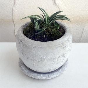 観葉植物/ギフトに 万年青 (おもと):瑞泉 鉢植え/ロゼッタボウル白SS・皿付き