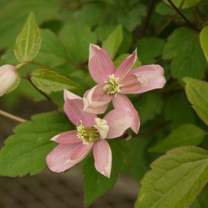 ブロウトンスターは、人気のモンタナ系。珍しいライラックローズ色の花です。花は八重、半八重、一重で、花...