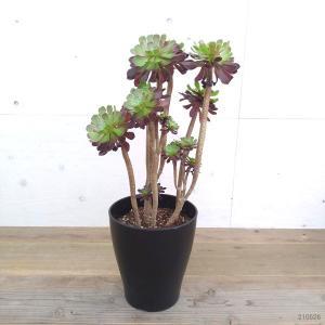 観葉植物/アエオニウム:黒法師8号鉢 送料無料|engei