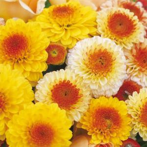 草花の苗/秋咲きデュエットマム:ポンポン&デコラ咲き黄色系3.5号ポット|engei