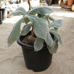 観葉植物/送料無料 断崖の女王(シンニンギア・レウコトリカ)9号鉢植え