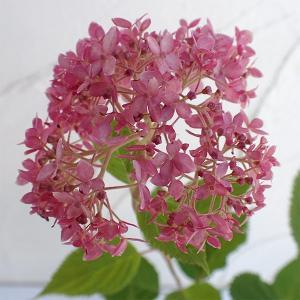 大きな手毬状の花で人気の高い北米原産のアジサイ、アナベルのピンク花品種です。蕾の頃から赤く、花の咲き...