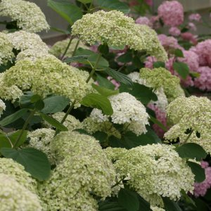 大きな手毬状の花で人気の高いアナベルの花色がライムグリーンになる新品種。満開時に見られるピンク色の花...