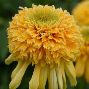 レモンドロップはさわやかなレモンイエローの八重咲の花。ボリュームある花姿をお楽しみいただけます。夏の...