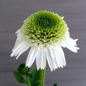 八重咲のエキナセア。ボリュームある花姿をお楽しみいただけます。エキナセアはとても丈夫で栽培しやすい宿...